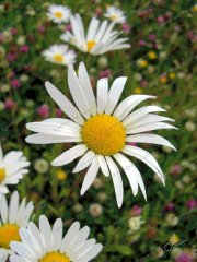 misc-oxeye-daisies
