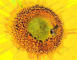 misc-sunflower-and-drone-fly