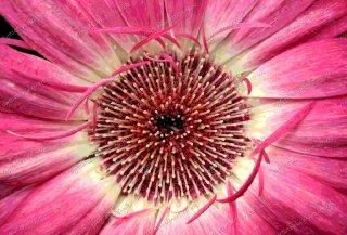 misc-gerbera-pink
