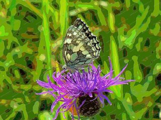 marbled-white-on-knapweed