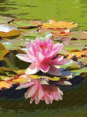 pink-water-lily-compton-acres-dorset