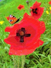 poppies-peacock-butterfly