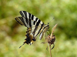 zebra-swallowtail-butterfly-begur-spain_2
