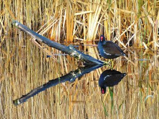 moorhen-wicken-fen-cambridgeshire_2