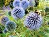 bees-on-aliums-shaftesbury