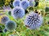 bees-on-aliums-shaftesbury