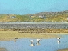 black-headed-gulls-across-seilebost-estuary-harris_1