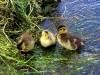 misc-ducklings-on-stour