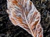 misc-frosted-chestnut-leaf