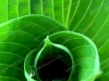 misc-green-hosta