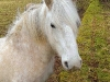 pony-at-melrose-scottish-borders_2