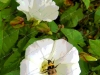 the-bee-the-bindweed