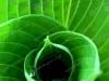misc-green-hosta