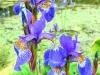 misc-springhead-irises